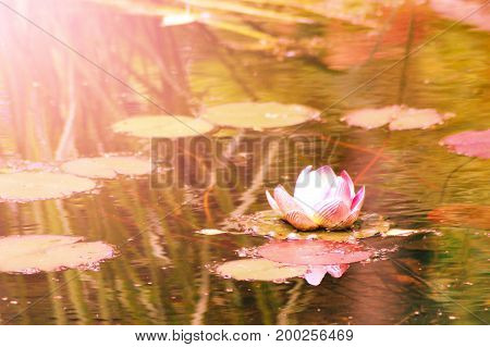 Waterlily In Garden Pond, Flower In The Park, Sunset