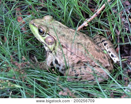 Frog in High Park of Toronto Canada July 21 2017