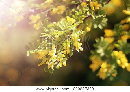 Wild Rose With Yellow Flowers In The Sun