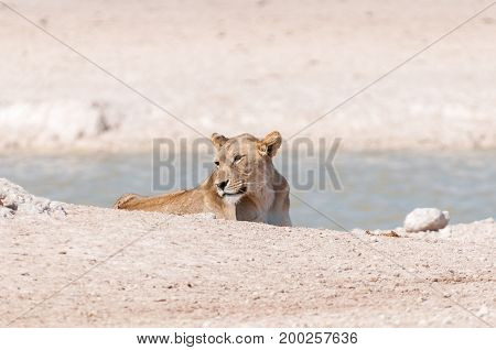 An African Lioness Panthera leo lying at a waterhole in Northern Namibia