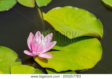 Beautiful light rose water lily or lotus with green lush leaves in a water outdoors.