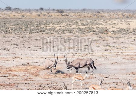Two oryx (also called gemsbok) Oryx gazella fighting in Northern Namibia