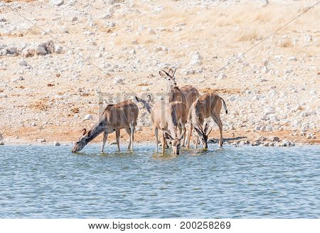 Greater kudu cows and young bulls Tragelaphus strepsiceros drinking water in a waterhole in Northern Namibia