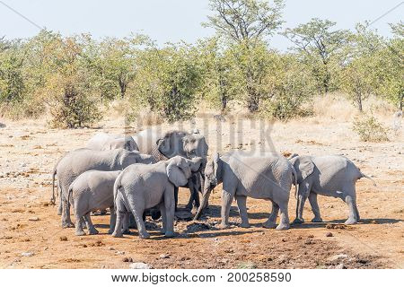 A herd of elephants Loxodonta africana drinking water at a fresh water fountain at a waterhole in Northern Namibia