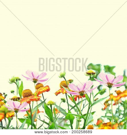 Colorful cosmos flowers on a background of summer landscape.