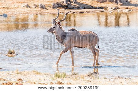 A greater kudu bull Tragelaphus strepsiceros walking in a waterhole in Northern Namibia