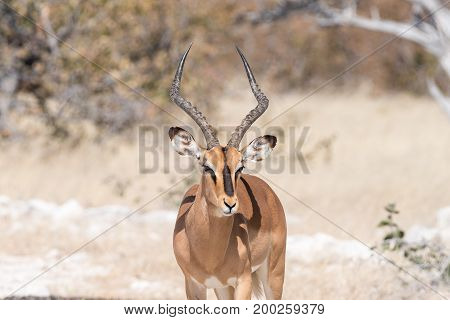 Close-up of a black-faced impala ram Aepyceros melampus in Northern Namibia.