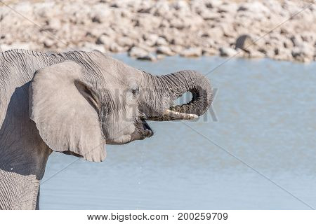 Close-up of an elephant Loxodonta africana drinking water at a waterhole in Northern Namibia