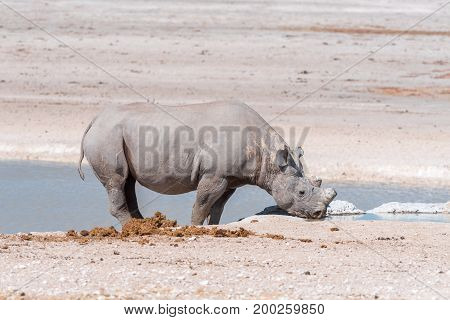 A black rhinoceros Diceros bicornis also called hook-lipped rhinoceros with horns trimmed drinking water at a waterhole in Northern Namibia
