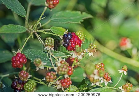 Fruits of wild blackberries. Fruits of wild blackberries. Ripe fruits are dark blue, unripe red and green. These are the fruit of the blackberry bush growing in the forest. Spikes are visible on the branches. It is sunny day.