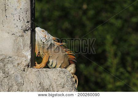 An exotic green iguana (Iguana Iguana) basking in the Florida sunlight