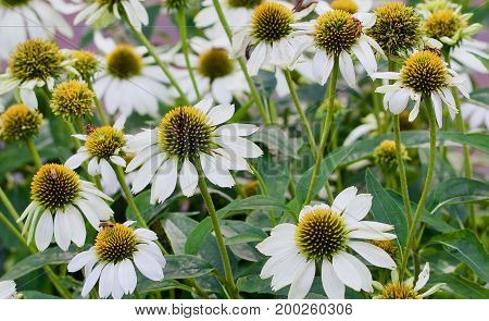 Grouping of white cone flowers with green foliage