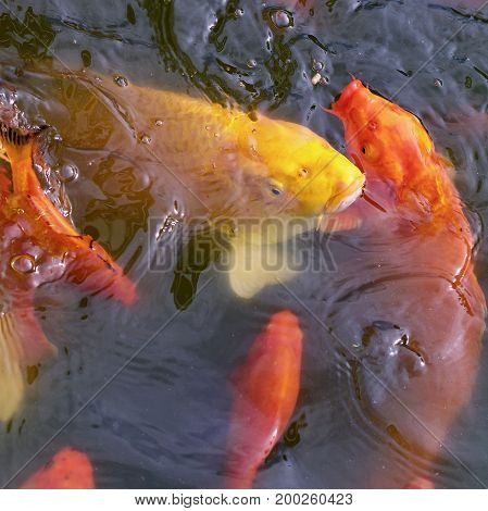 Multiple gold and yellow coy fish looking for food