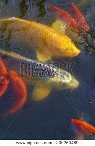 Multiple carp and gold and yellow coy fish waiting