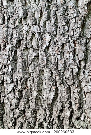 Brightly lit rough textured gray tree bark