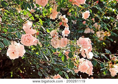 Delicate pink roses on the bush in the summer