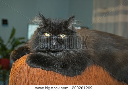 Front of a lying, young Persian cat. Long black hair Flat snout, green eyes. The cat is in the room.