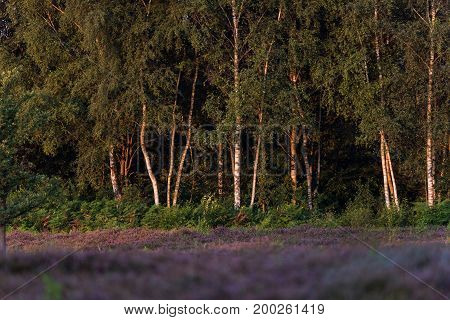 Stems Of Birch Trees Lit By Morning Sun In Heather Landscape.