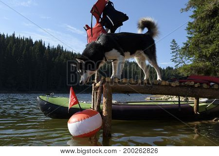 Alaskan Malamute on a pier looking at a buoy