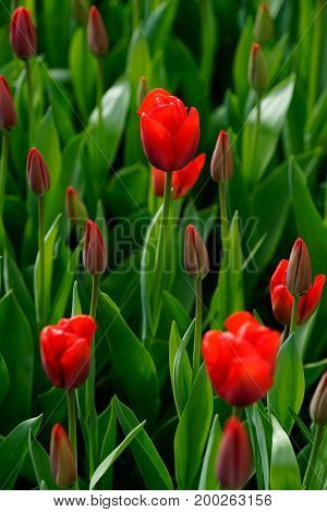 Blooming Tulips With Red Colorful Petals And Green Leaves In A Field At Keukenhof In Springtime Duri