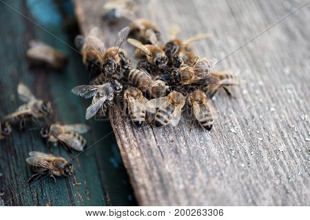 Bees attacking intruder near a beehive entrance macro shot
