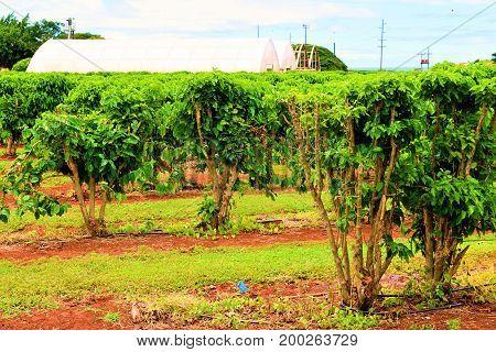 Coffee Plants taken at a Plantation taken in Kauai, HI