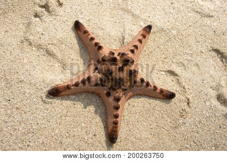Brown Pink Star Fish On A Tropical White Sand Beach Near The Ocean Coast At Daytime.