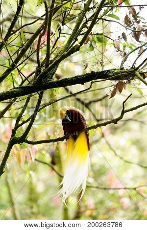 Lesser Bird Of Paradise Or Paradisaea Minor An Exotic Bird With Yellow Long Tail And Brown Head Sitt