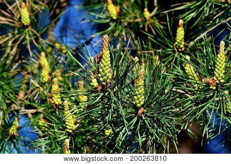 Pinus mugo. Needles and buds close up