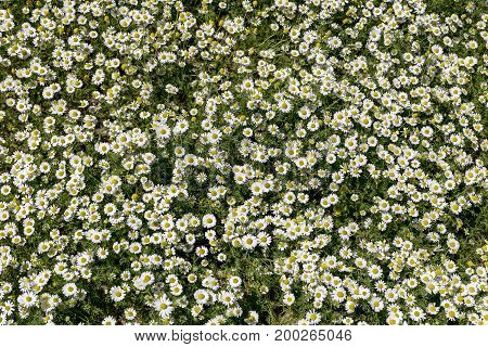 The spring meadow. Background of camomile closeup