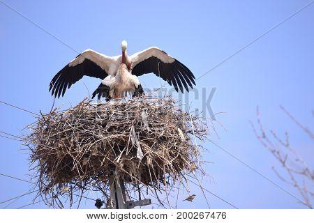 Storks spring news reporter migratory birds  and naturel