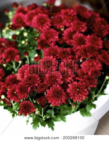 Bush of Beautiful Red Chrysanthemum in White Flower Pot closeup. Focus on Foreground