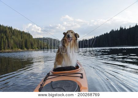 Scottish shepherd in a sit-in kayak. Collie