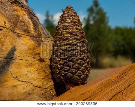 A white bark pine cone being displayed on some logs.