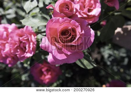 Pink rose in focus with other roses behing that are blurred