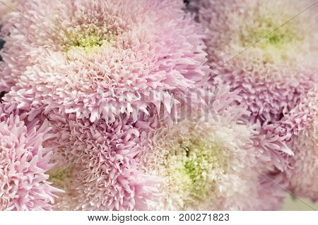 Pink and white chrysanthemum bunch. Beautiful floral background.