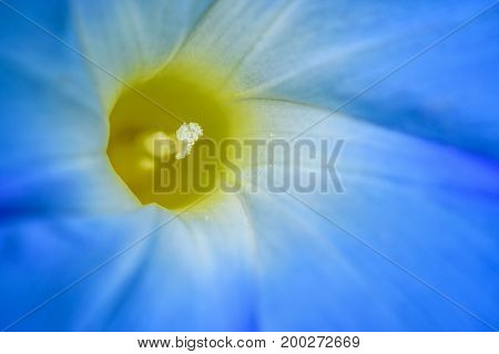 Close-up beautiful white carpel and blue flower petals of Ipomoea Purpurea or Morning Glory for background