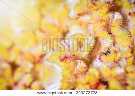 Beautiful macro image of a small yellow petal under sunlight of Celosia cristata or Cockscomb flower for background