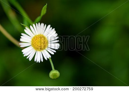 Closeup beautiful small flower with yellow pollen and white petal of Bellis Perennis Common Daisy Lawn Daisy Woundwort Bruisewort or English Daisy on green background