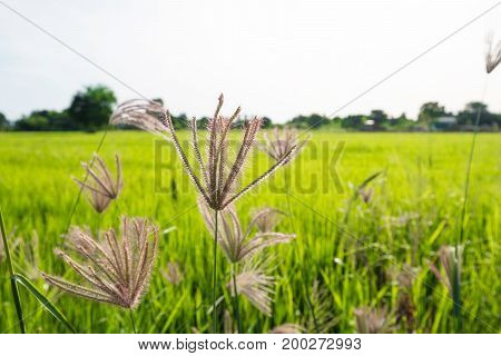 Grass field with green rice fields background inThailand