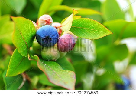 Fresh not ripe green and blue blueberry on bush with raindrop on leaves background