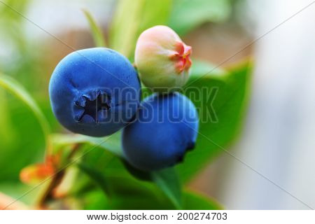 Fresh organic blueberry on bush with raindrop on leaves background