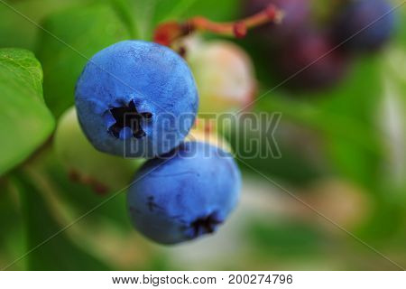 Fresh organic ripe blueberry on bush with raindrop on leaves background