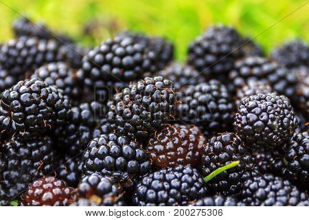 Organic fresh ripe blackberries on the green grass with selective focus. Bunch of blackberries. Berry background