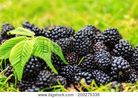 Organic fresh ripe blackberries on the green grass with leaves. Berry background