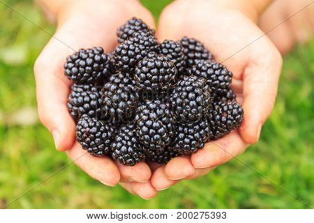 Blackberries in the hands. Organic fresh ripe. Berry background