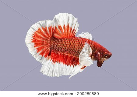 Capture the moving moment of red white siamese fighting fish on grey background. Dumbo betta fish