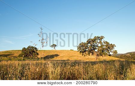 California Valley Oak Trees under clear blue skies in Paso Robles wine country in Central California United States