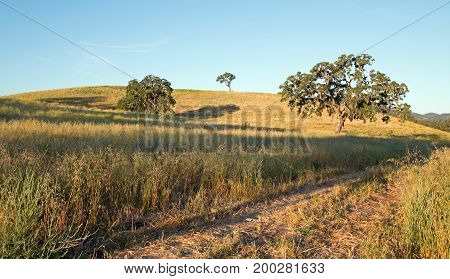 California Valley Oak Tree in plowed fields under clear blue skies in Paso Robles wine country in Central California United States