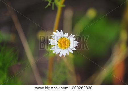 One small chemist's chamomile Matricaria chamomilla, which grew on a dry stony ground